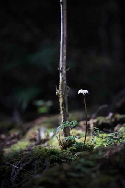Photos: セリバオウレン
