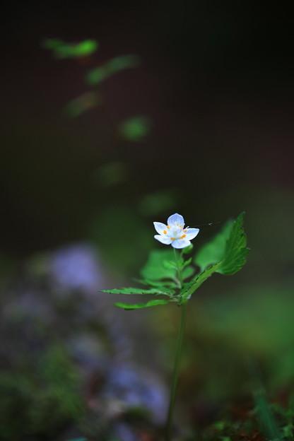 Photos: ツルシロカネソウ