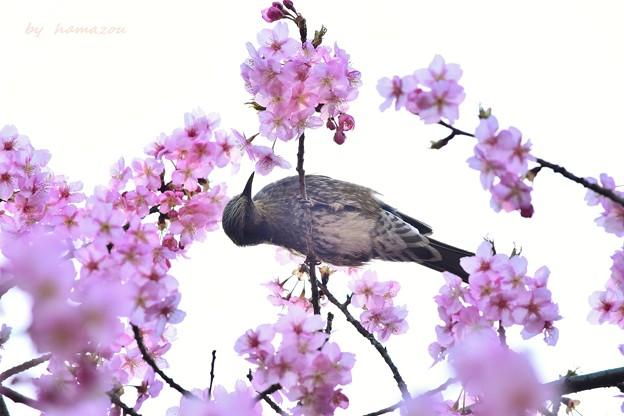 Photos: ヒヨ桜~♪