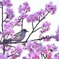 ヒヨ桜~♪