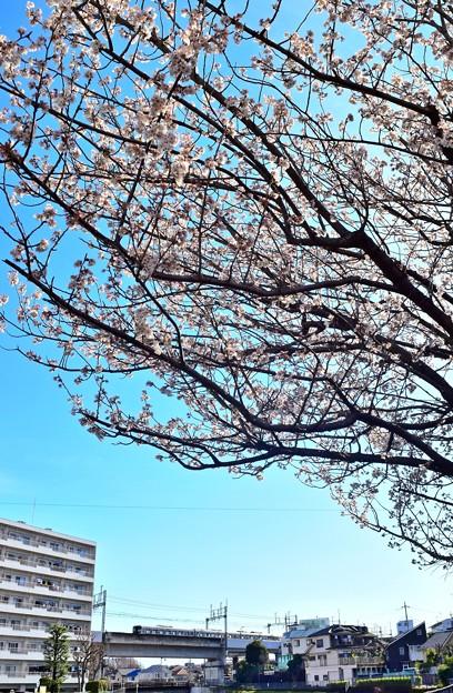 桜咲く木の下