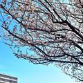Photos: 桜咲く木の下