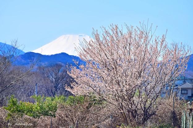 春富士に咲く