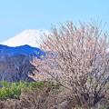 Photos: 春富士に咲く