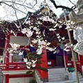 Photos: 江戸彼岸桜