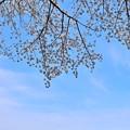 桜咲く下の河川敷