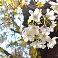 Photos: 透過桜