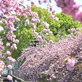八重桜と新緑