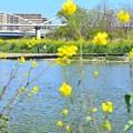 菜の花河川敷