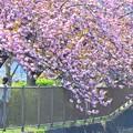 Photos: 八重散歩