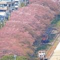 Photos: 桜咲く引込線