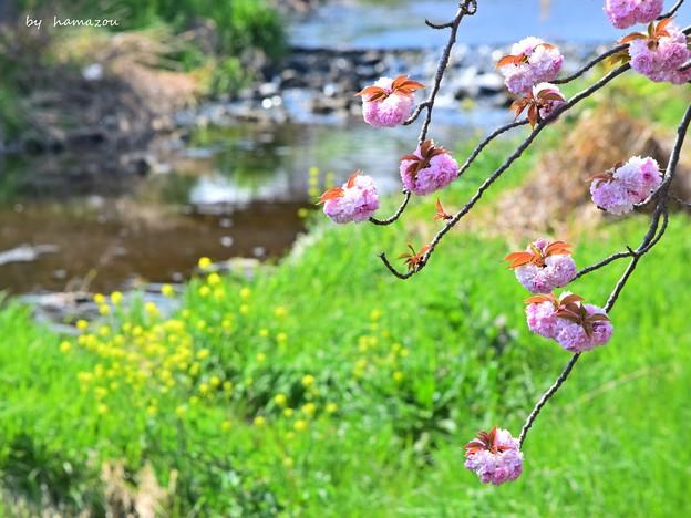 Photos: 春のせせらぎ