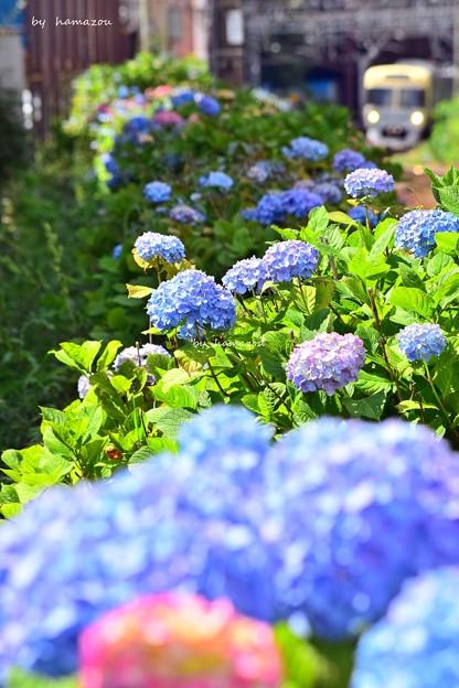 紫陽花咲く沿線