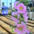 線路際に咲く