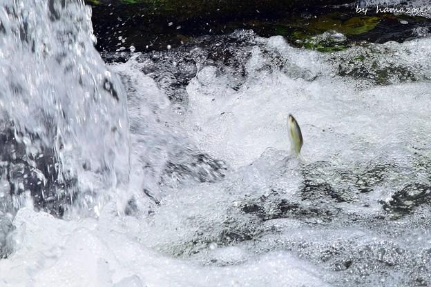 魚の遡上(2)
