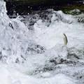 Photos: 魚の遡上(2)