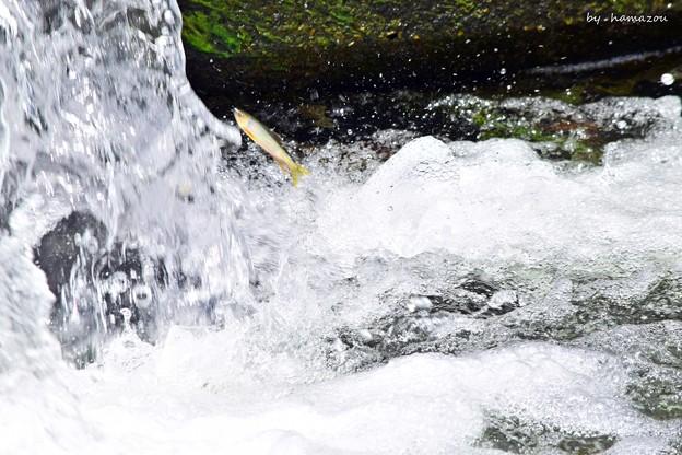 魚の遡上(3)