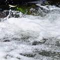 魚の遡上(4)