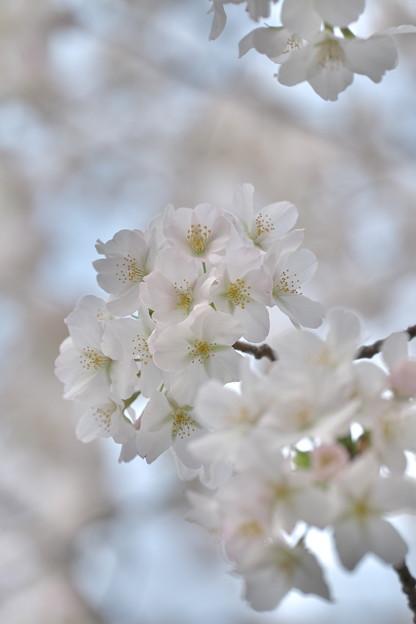 早咲きの桜@蒔田公園その2