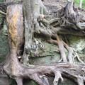 白鹿洞の木の根