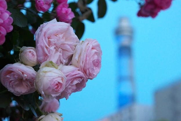 薔薇園は見頃です