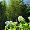 Photos: 紫陽花と竹林