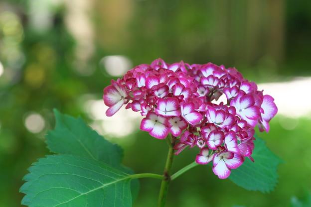 明月院の違う紫陽花