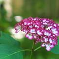 Photos: 明月院の違う紫陽花