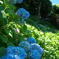 Photos: 長谷寺の紫陽花その2