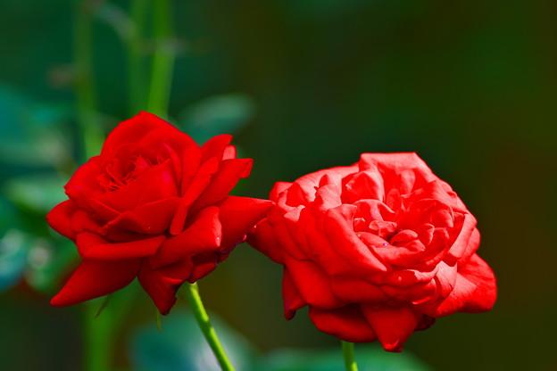 明月院の薔薇