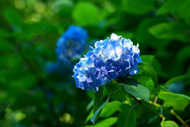 明月院の姫紫陽花