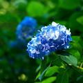 Photos: 明月院の姫紫陽花