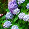 明月院~北鎌倉駅間の紫陽花