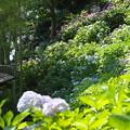 長谷寺の紫陽花01
