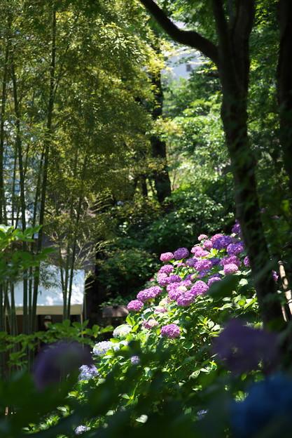 長谷寺の紫陽花02