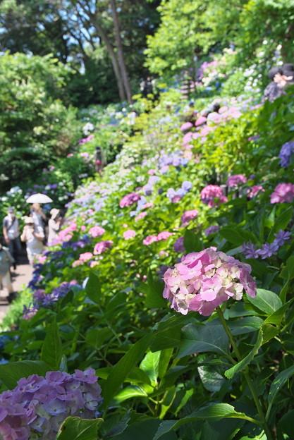 長谷寺の紫陽花04