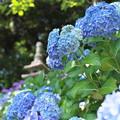 長谷寺の紫陽花05