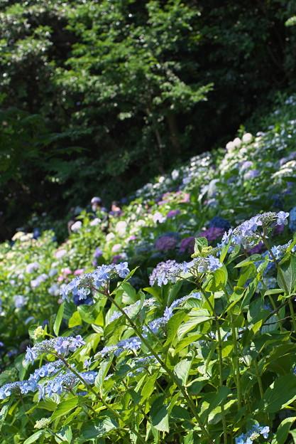 長谷寺の紫陽花06