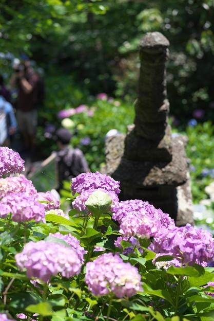 長谷寺の紫陽花07