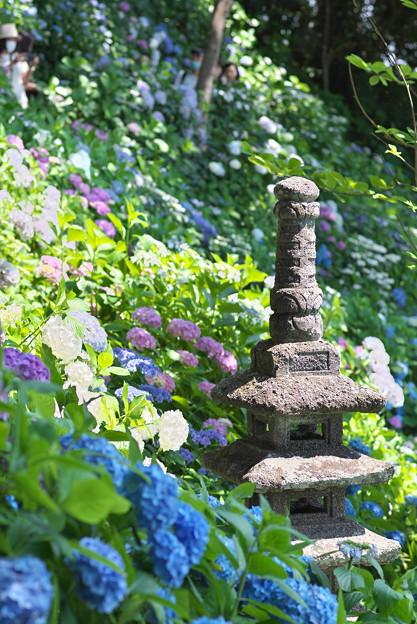 長谷寺の紫陽花08