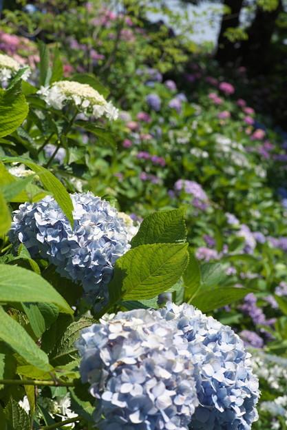 長谷寺の紫陽花09