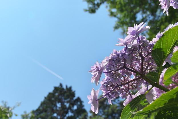 長谷寺の紫陽花10
