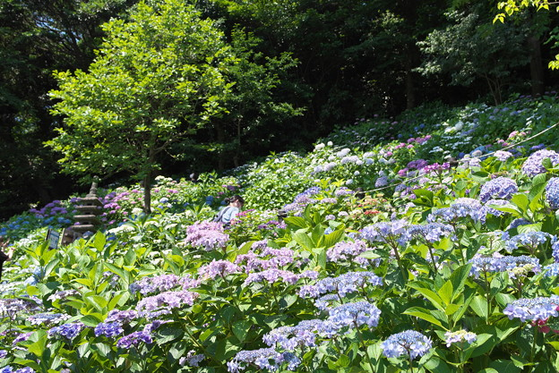 長谷寺の紫陽花11