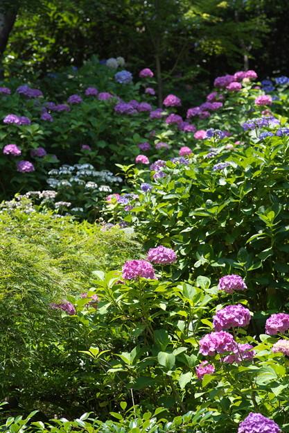 長谷寺の紫陽花12