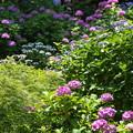 Photos: 長谷寺の紫陽花12