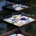 Photos: 浮かぶ紫陽花