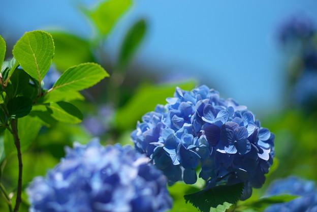 明月院の紫陽花01
