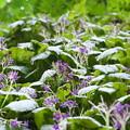 イワタバコ(Conandron ramondioides)その2