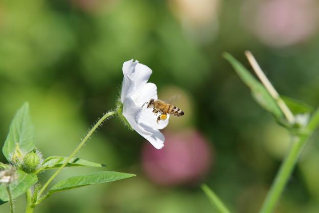 ミツバチさん@未来のバラ園
