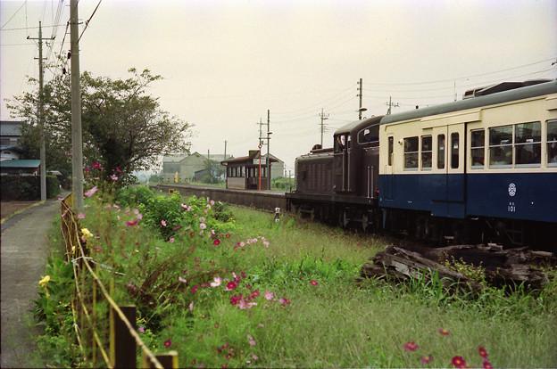 コスモスとイベント列車